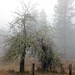 Oak Broken Before Fog (russell.tomlin) Tags: