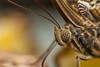 Forest Giant Owl - Caligo eurilochus (markhortonphotography) Tags: lepidoptery royalhorticulturalsociety markhortonphotography lepidoptera forestgiantowl insect glasshouse warning surrey macro butterfly wisley leaves wildlife thatmacroguy eye caligoeurilochus tropical invertebrate