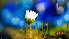 Daisy 2018 (YᗩSᗰIᘉᗴ HᗴᘉS +12 000 000 thx❀) Tags: macro daisy flower flora bokeh hensyasmine namur belgium wallonie europa aaa بلجيكا belgique bélgica ベルギー белгия բելգիա belgio 벨기에 belgia бельгия 比利时 bel be autofocus ngc saariysqualitypictures yasminehensinterst intersting interestingness 7dwf