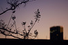 鈴のように (Yuri Yorozuna / 萬名 游鯏(ヨロズナ)) Tags: pentaxsmctakumar55mmf18 twilight 夕方 夕暮れ 夕焼け evening sunset 日没 日暮れ 夕闇 逢魔が時 逢魔ヶ時 逢魔ケ時 黄昏 黄昏時 誰彼 シルエット silhouette 影 gradation グラデーション color 色 色彩 木 樹木 植物 tree plants plant 枝 branch 夕空 空 夕焼け空 夕暮れ空 eveningsky 宵 nightfall 東京都 東京 tokyo japan shinjukuward shinjuku 新宿区 新宿 若松河田 wakamatsukawada kawadacho 河田町 曙橋 akebonobashi dusk 薄暮 dim vesper