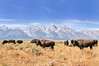Grand Teton and the Bison (Ronnie Wiggin) Tags: grandtetonandthebison gtnp grandtetonnationalpark antelopeflats mormonrow jacksonwyoming tetons grandtetons mtmoran jacksonhole sagebrush