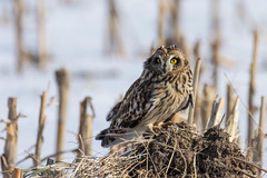Short-eared owl (larryim) Tags: shorteared owl nature wildlife