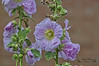 Fleurs ( photopade (Nikonist)) Tags: fleurs flowers nature couleurs nikon apple affinityphoto imac nikond70