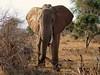 standing tall (lesleydugmore) Tags: elephant brown safari kenya green tusks africa wood outside outdoors
