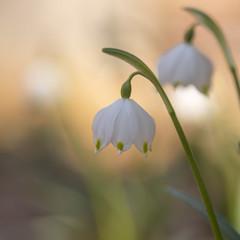Nivéoles de printemps *-* (Titole) Tags: nivéoledeprintemps leucojumvernum titole nicolefaton squareformat two claudinette flowers white shallowdof storybookwinner