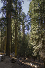 Giant Forest (rschnaible (Not posting but enjoying your posts)) Tags: sequoia national park outdoor west western us usa california hike landscape giant forest sierranevada