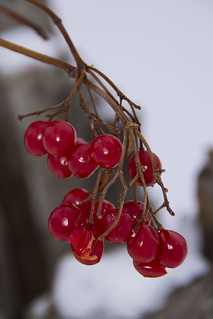 Petrie Island winter berries