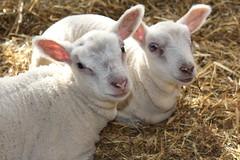 the twins will be 3 weeks old tomorrow (excellentzebu1050) Tags: newlife newborn birth lamb twins triplet animalportraits closeup animal farm indoors coth5
