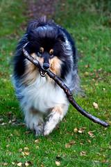 Neo and his stick..... (GlasgowPhotoMan) Tags: trossachs scotland centralscotland dog collie roughcollie stick play canine