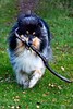 Neo and his stick..... (GlasgowPhotoMan) Tags: trossachs scotland centralscotland dog collie roughcollie stick play canine