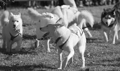 Husky Heroes '18, Morton Arboretum. 3 (EOS) (Mega-Magpie) Tags: canon eos 60d outdoors the morton arboretum lisle dupage il illinois usa america dogs husky heroes pet bw black white mono monochrome dog