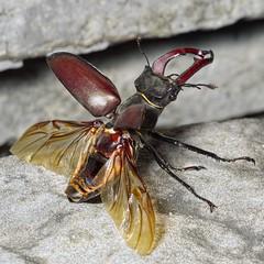 Lucanus cervus M (kahhihou) Tags: taxonomy:kingdom=animalia animalia taxonomy:phylum=arthropoda arthropoda taxonomy:subphylum=hexapoda hexapoda taxonomy:class=insecta insecta taxonomy:subclass=pterygota pterygota taxonomy:order=coleoptera coleoptera taxonomy:suborder=polyphaga polyphaga taxonomy:superfamily=scarabaeoidea scarabaeoidea taxonomy:family=lucanidae lucanidae taxonomy:genus=lucanus lucanus taxonomy:species=cervus taxonomy:binomial=lucanuscervus lucanuscervus hirschkäfer cervovolante жуколень ciervovolante stagbeetle vacaloura cabraloura lucanecerfvolant cèrvolvolant rogač