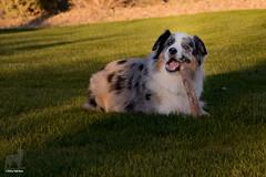 Nom-nom-nom, CRUNCH! (Jasper's Human) Tags: aussie australianshepherd dog chew stick