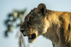 hunting a fly (PhilHydePhotos) Tags: africa botswana chitabecamp okavangodelta safari lion lioness animalplanet