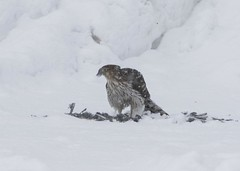 Young Red Tail Lunch (a56jewell) Tags: a56jewell hawk feb food winter