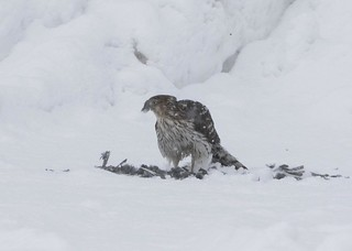 Young Red Tail Lunch