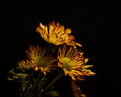 Floral Foundation 1115 (Tjerger) Tags: nature beautiful beauty black blackbackground bloom blooming blooms closeup fall flora flower flowers green macro mum plant portrait red wisconsin yellow mums foundation natural