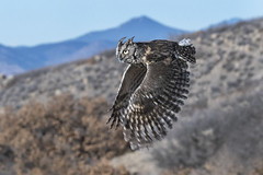 Screech owl in flight (Tundra Winds Images by Donna) Tags: colorado natureseducators educationalraptor screechowl megascopsasio easternvariety flight his donna