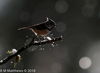 Crested tit silhouette