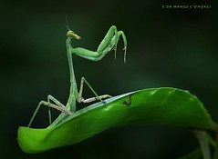 Praying Mantis. (MCSindagi) Tags: sony sonyrx10iv sonyindia sonyrx10miv sonyrx10m4 bengaluru rx10iv rx10m4 rx10 bangalore karnataka prayingmantis mantis macro telemacro closeups affinityphotoforipad affinityphoto snapseed india mantidae