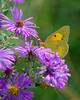 Pay no attention to that grasshopper below you (KsCattails) Tags: aster blossom butterfly fall flower insect jccc kscattails macro nature outdoor purple yellow grasshopper