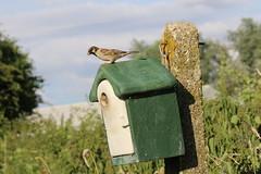 Green Nestbox with Tree Sparrow (Vine House Farm) Tags: nest box nesting boxes farmland tree sparrows owl tower