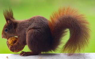 Eichhörnchen/ Red squirrel (Sciurus vulgaris)
