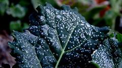 Choux givré (bernard.bonifassi) Tags: bb088 06 alpesmaritimes 2018 fevrier hiver eu counteadenissa thiery macro choux feuille plante jardin canonsx60