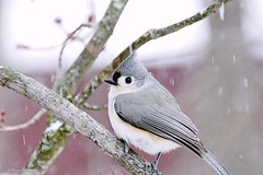 Tufted Titmouse (Anne Ahearne) Tags: bird snow snowfall winter nature wild animal tree gray grey tufted titmouse cute
