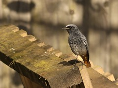 Black redstart (Kevin67.) Tags: blackredstart birds visitor nature wildlife rspb bedfordshire