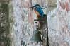 Kingfisher on the Palace Bell (Mukumbura) Tags: male kingfisher bird fish fishing catch water splash flying wildlife england alcedoatthis bishopspalace moat wells somerset nature rock perch bell gatehouse window drawbridge blue orange ring hook building