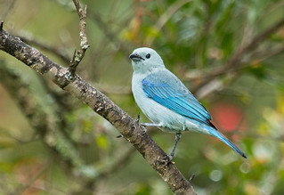 IMG_2147  Blue-gray Tanager