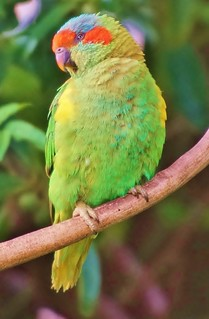 Musk Parrot in our back yard
