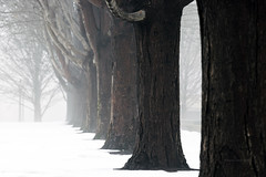Snowy Trees (RaulCano82) Tags: snow snowday fog tree park nature beautiful mothernature earth illinois il chicago millenniumpark millennium trunk wood foggy view raulcano canon 80d photography landscape trees row depthoffield focus bark cold winter 2018 frigid weather ice snowy travel trip