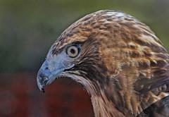Red-tailed Hawk (Buteo jamaicensis) (Ron Wolf) Tags: accipitridae accipitriformes buteojamaicensis redtailedhawk bird captive nature raptor wildlife california rescue