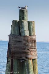 Seagull Perch (Rebecca Leyva) Tags: animal coast maine newengland boston seabird dock sea ocean seagull bird
