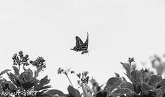 Tailed jay in flight (asheshr) Tags: bw graphiumagamemnon beautifulbutterfly beautifulmacro blackwhite blacknwhite butterfliesofindia butterfliesofodisha butterfliesoforissa d7200 depthoffield dof macro macrophotography mono monochrome nikon nikond7200 swallowtail swallowtailbutterfly tailedjay