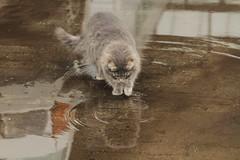 cat and water (gill4kleuren - 16 ml views) Tags: pussy puss poes chat mieze katje gato gata gatto cat pet animal kitty kat pussycat poezen