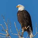 Portrait of a stunning Bald Eagle thumbnail