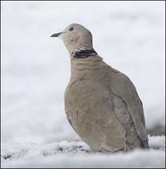 Collared Dove (Craig 2112) Tags: streptopeliadecaocto collareddove bird garden woodland snow northamptonshire