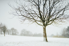 Standing Proud (Janet_Broughton) Tags: edge50 lensbaby snow winter tree blur