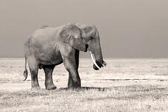 Tusker (Thomas Retterath) Tags: kilimanjaro afrika africa kenya amboseli safari natur nature thomasretterath adventure wildlife abenteuer loxodontaafricana bigfive africanelephant elefant elephantidae pflanzenfresser herbivore säugetier mammals animals tiere trunk stoszähne tusks