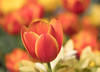 Statement for color (Irina1010) Tags: tulips colorful macro bokeh light sunny spring 2018 nature beautiful canon outdoors ngc npc