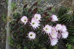 Echinopsis (Runabout63) Tags: echinopsis flower cacti cactus