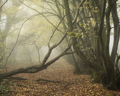 Obstruction (Damian_Ward) Tags: ©damianward damianward beech trees chilterns chilternhills thechilterns fog mist buckinghamshire wood forest woodland