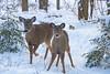 Nervous new deer! ((nature_photonutt) Sue) Tags: deer youngoneandmom ouryard ironbridgeontariocanada 12000views