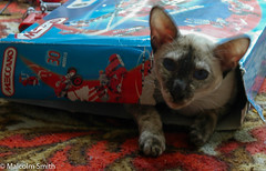 Another Who Likes The Box Better Than The Toy (M C Smith) Tags: meccano box blue siamese playing cat pentax istd red carpet gold brown white paws letters numbers pictures