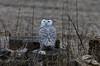 Snowy Owl (ramseybuckeye) Tags: wy owl allen county ohio williams reservoir pentax da300 wildlife bird