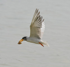 River Tern (Venugopal Bsnl) Tags: venugopalbsnl serilingampally images imagesvenugopalbsnlgooglebest river tern bushchat