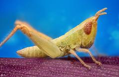 Very Small Grasshopper (Can Tunçer) Tags: cc can cantunçer cantuncer canon canon6d closer close tt tunçer turkiye turkey türkiye tuncer tabletop stack stacking studio setup macro makro macros macrophotography micro mikro makros microscope microscop mitutoyo mitu5x techology izmir ikea jansö jansjö
